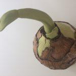 grote amaryllis bolmaat ca 30cm doorsnee