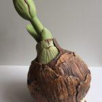 amaryllis in de groei